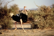 Male red-necked ostrich